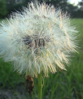 """Dandelion at Sunset"" by Gene'O"